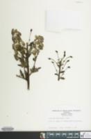 Aconitum carmichaelii image