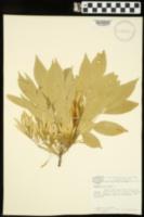 Fraxinus americana image