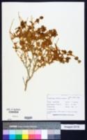 Buddleja utahensis image
