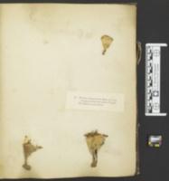 Podoscypha ravenelii image
