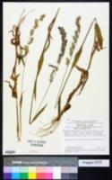 Image of Echinolaena oplismenoides
