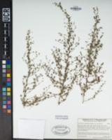 Sairocarpus nuttallianus image