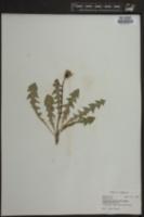Taraxacum officinale image