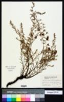 Krameria secundiflora image