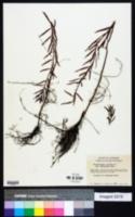 Proserpinaca palustris var. amblyogona image