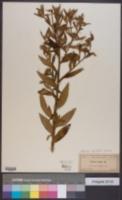 Image of Pluchea sagittalis