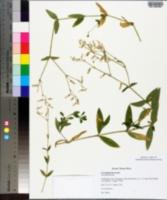 Cerastium lucorum image