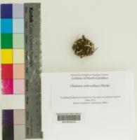 Image of Cladonia ochrochlora