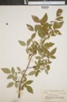 Image of Rosa subserrulata