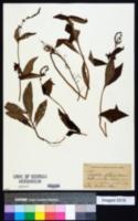 Image of Lysimachia fortunei