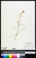 Asclepias feayi image