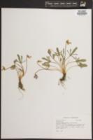 Image of Viola egglestonii