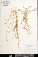 Galium pedemontanum image