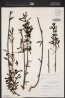 Keckiella ternata var. septentrionalis image