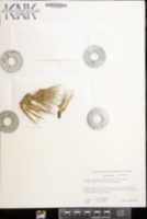Eleocharis parvula image