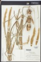 Pennisetum purpureum image