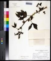 Hibiscus radiatus image