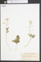 Cardamine angustata image