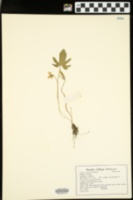 Image of Viola viarum