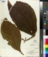 Image of Tectona grandis