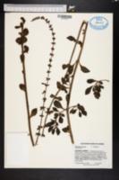 Image of Plectranthus spicatus