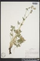 Delphinium madrense image