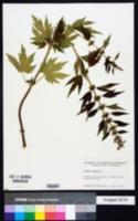 Leonurus cardiaca image