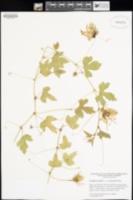 Passiflora arizonica image