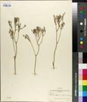 Lophiola septentrionalis image