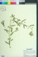 Sida rhombifolia image