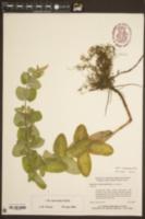 Mentha suaveolens image