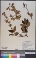 Image of Banisteriopsis malifolia