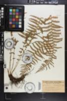 Dryopteris oregana image