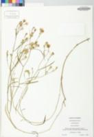 Symphyotrichum tenuifolium image