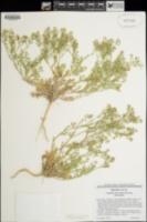 Lepidium lasiocarpum subsp. lasiocarpum image