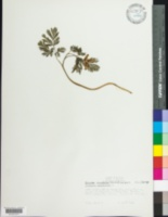 Dicentra canadensis image