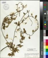 Image of Cocculus trilobus
