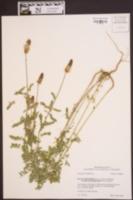 Dalea phleoides image