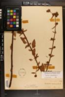 Melochia corchorifolia image