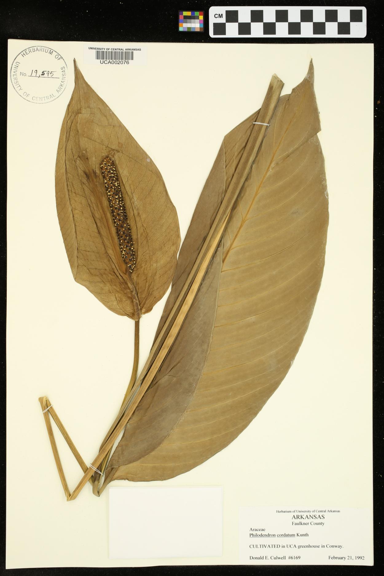 Philodendron cordatum image