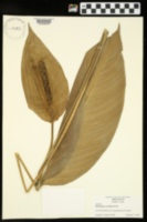 Image of Philodendron cordatum