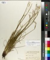 Image of Sisyrinchium nashii