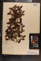 Image of Crataegus limnophila