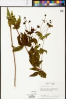 Coreopsis major image