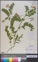 Lathyrus delnorticus image