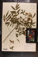 Cassia ligustrina image