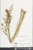 Juncus nodatus image