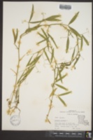 Lathyrus hirsutus image