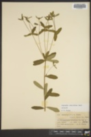 Image of Euphorbia zinniiflora