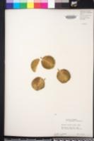 Bulnesia arborea image